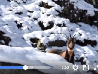 Un Isard filmé par le Parc nationale des Pyrénées fait le Buzz