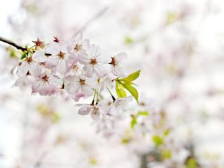 L'absence d'abeilles sur les cerisiers inquiète des Tarbais