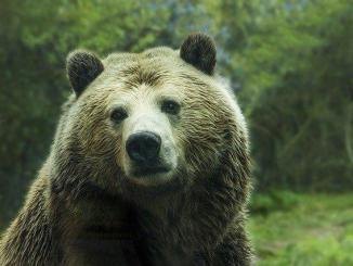 Pyrénées, mort de l'ours Cachou