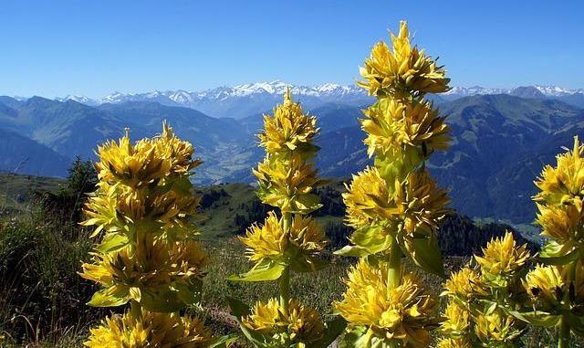 Le Parc national des Pyrénées appelle à la sauvegarde de la Gentiane Jaune