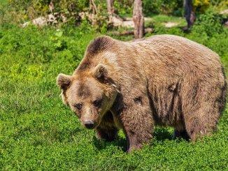 Pyrénées. Ils veulent remplacer les trois ours tués