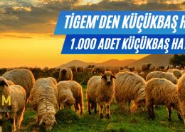 Tigem Satılık Koyun