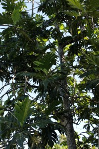 Breadfruit Tree.  They weren't in season yet, so we didn't get to try them.  You can just see the fruit in the tree.