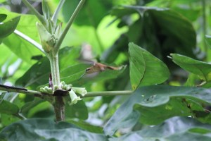 I'm really proud of myself for getting this photo. Long-Billed Hermit Hummingbird