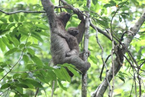 Mother Three-Toed Sloth with baby
