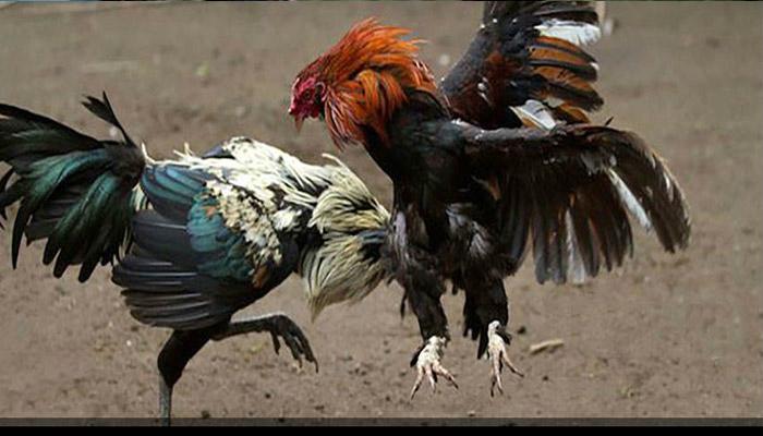 Jenis Ayam Aduan Yang Paling Poluler di Arena Pertandingan S128