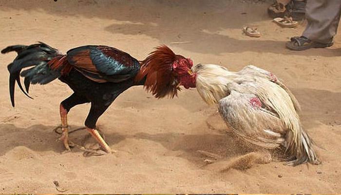 Jenis Ayam Hutan Paling Mematikan S128