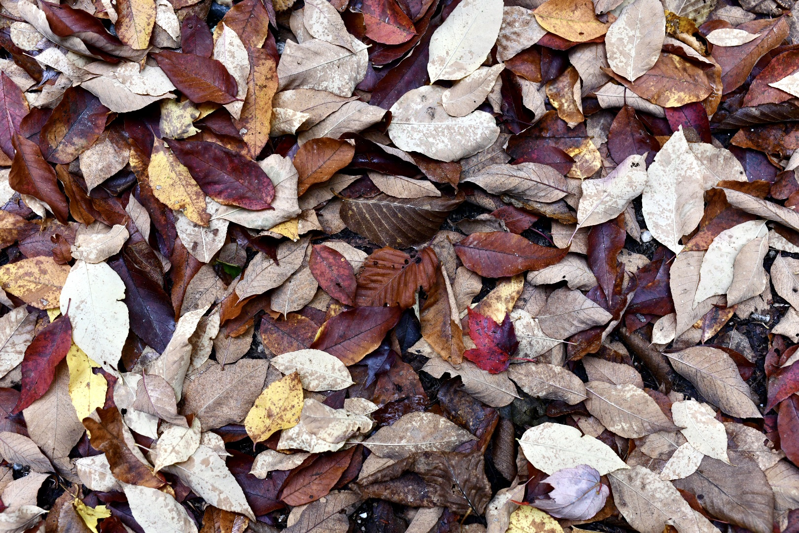Photograph of leaf fall. Dark reds, browns, a few yellows. 2021. Taryn Okesson. Digital Photography. White Mountain National Forest, New Hampshire.