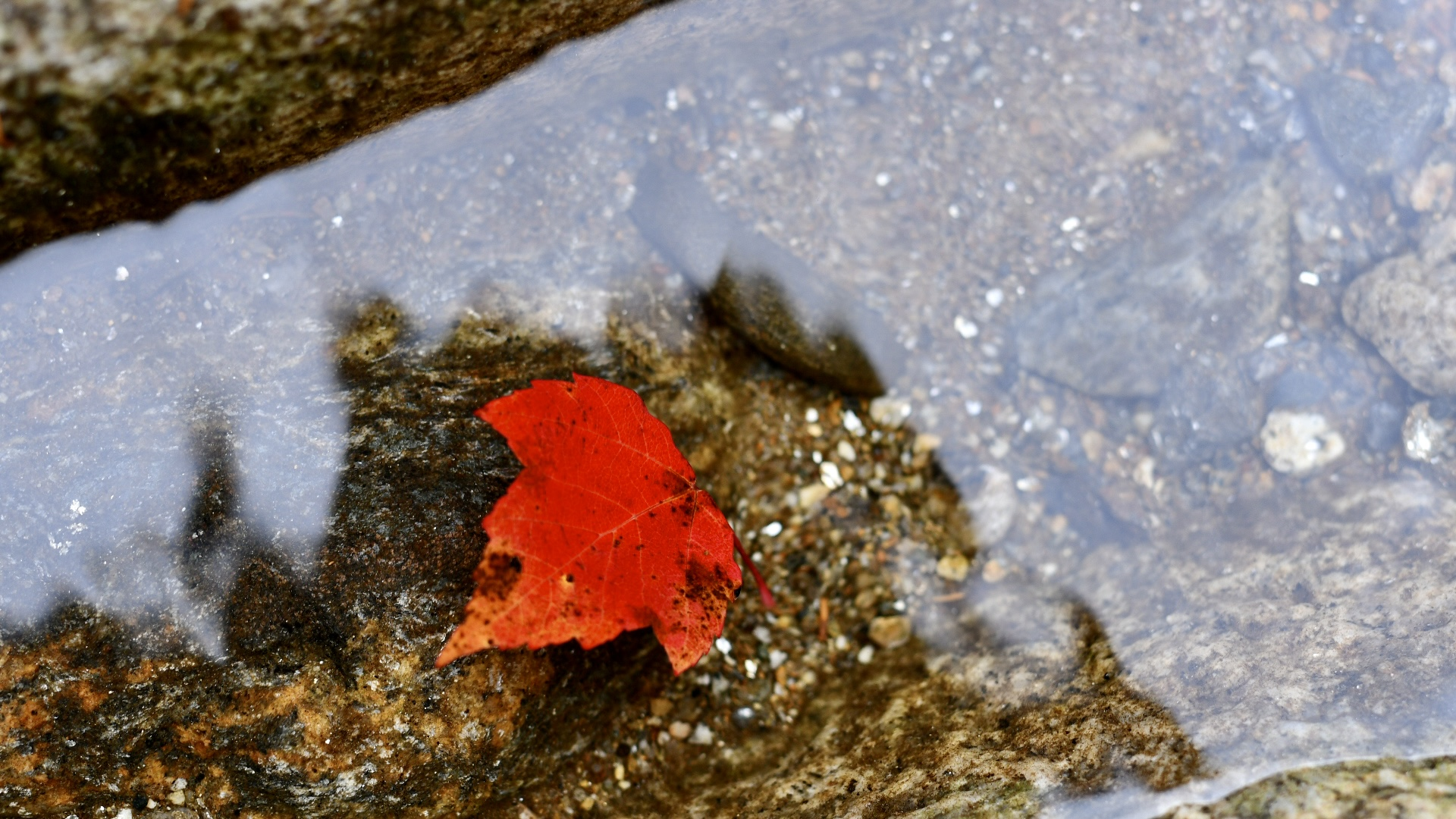 A bright red maple leaf floating in river water between two rocks. 2021. Taryn Okesson. Digital Photography. White Mountain National Forest, New Hampshire.