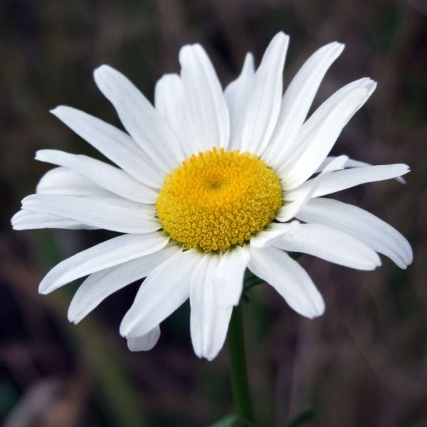 Floral Photography - Wild Daisy