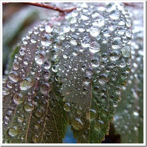 Dew on Leaves_01