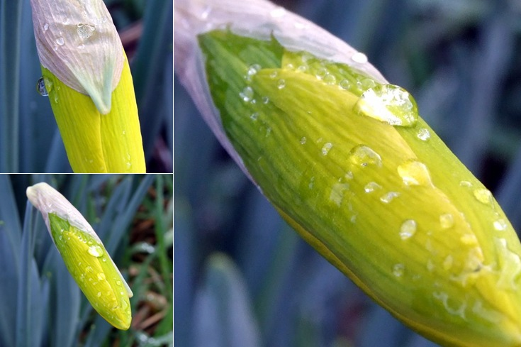 View Daffodil with Raindrop Photographs