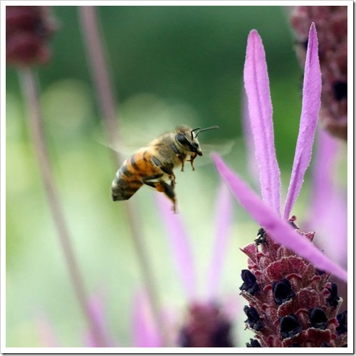 Bee in Flight_01