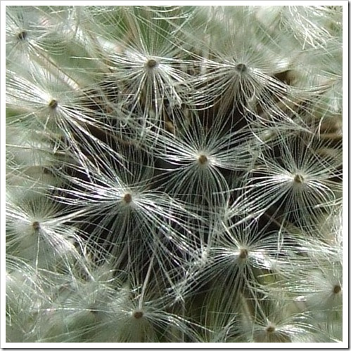 Dandelion in Detail_01