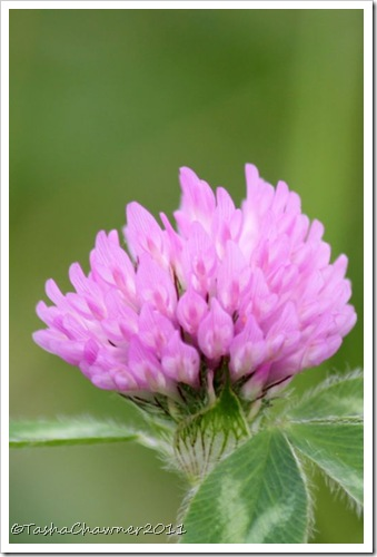 Day 124 - Red Clover