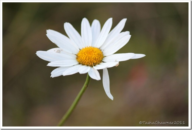 Day 129 - Imperfect Daisy