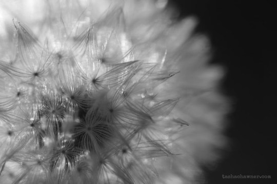 Macro detail of dandelion