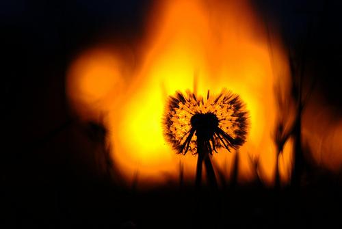 Dandelion Apocalypse by