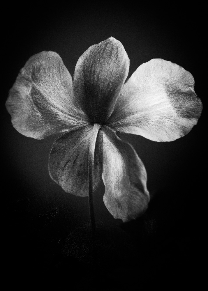 dark and moody photo of five petal flower