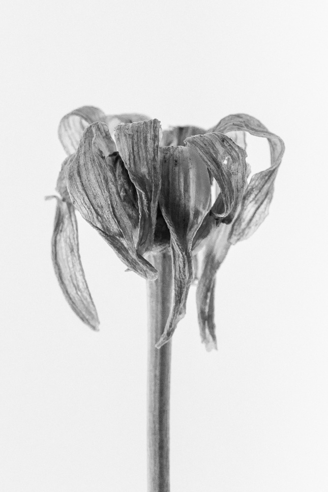 macro photo of a dead and wilted daisy