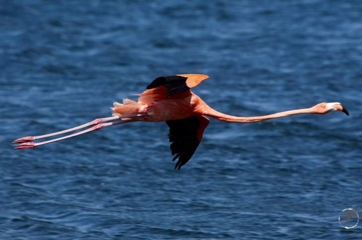 Bonaire Travel Guide: A Caribbean Flamingo on Lake Gotomeer, Bonaire.