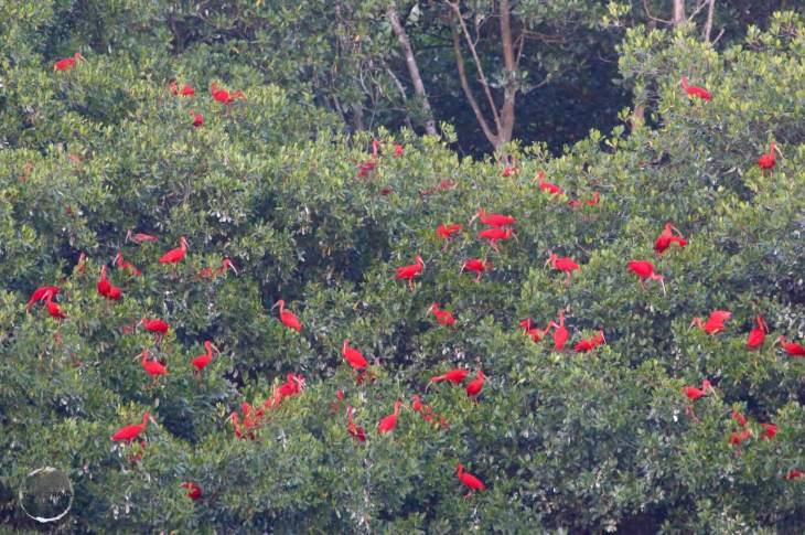 Scarlet Ibis roosting at Caroni bird sanctuary