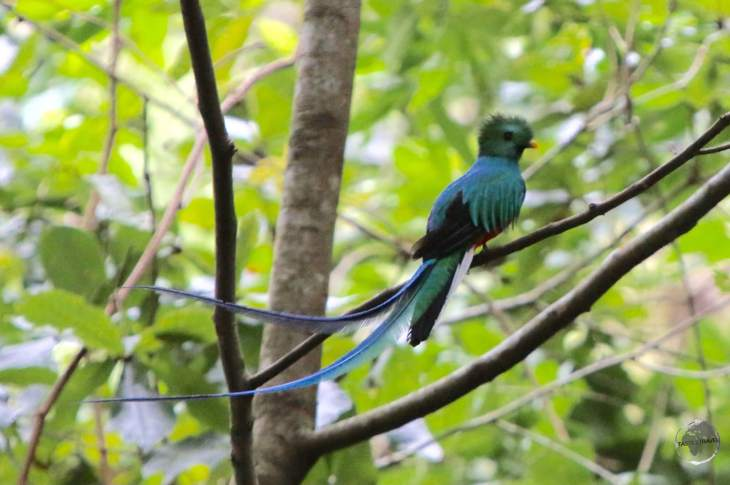 The equally elusive male Quetzal