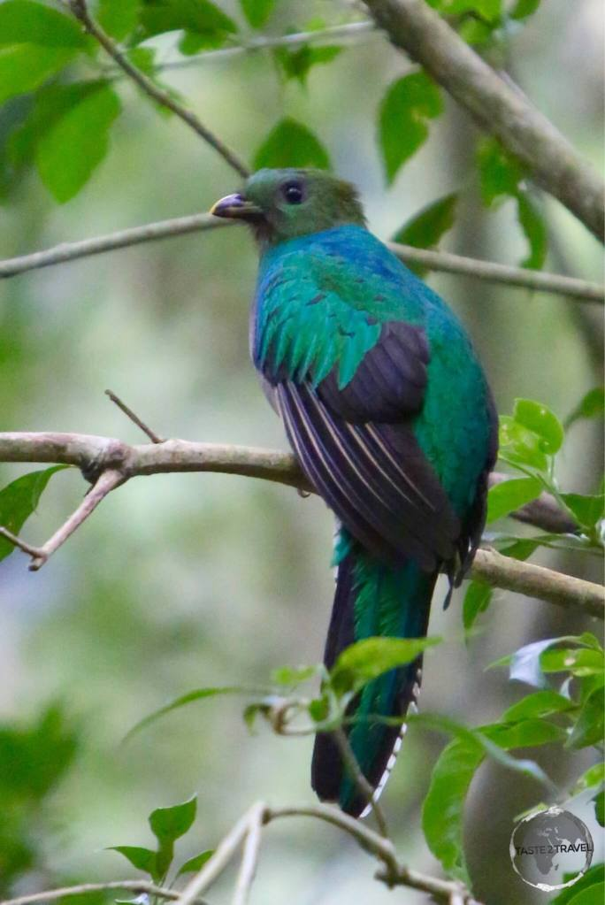 The resplendent (female) Quetzal near Finca Lerida.