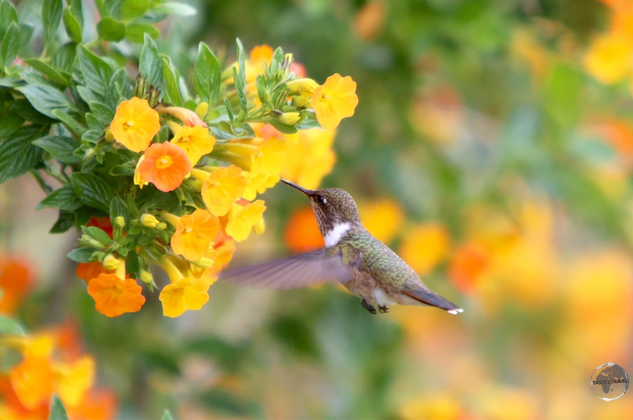 The tiny female Scintillant hummingbird is about 5-cm long.