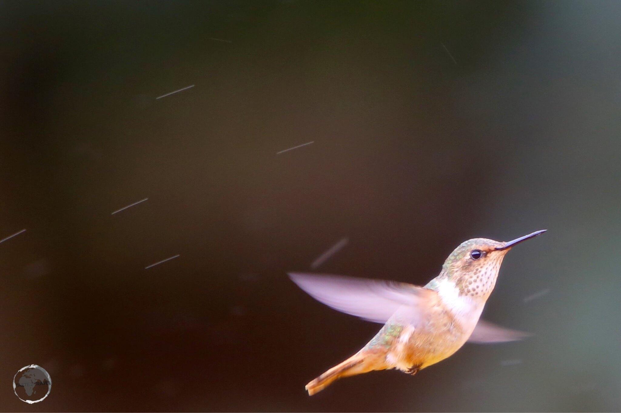 Female Scintillant hummingbird.