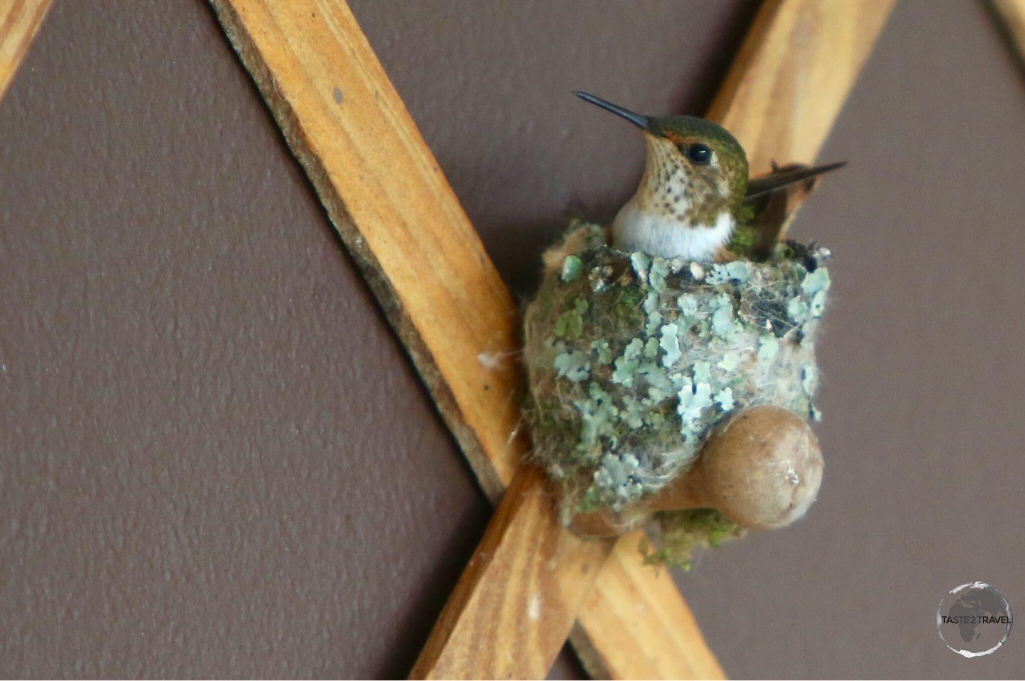Nesting female Scintillant hummingbird.
