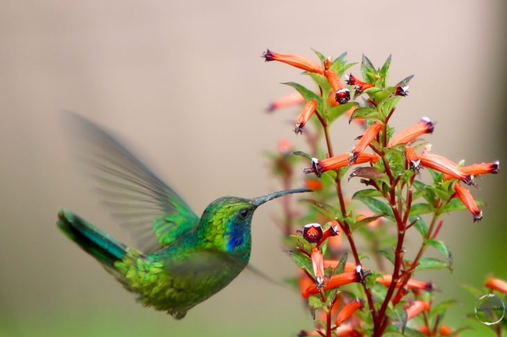 Feature: Panama Bird Watching: Hummingbird at Finca Lerida