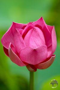 Lotus Flower in Nieuw Amsterdam