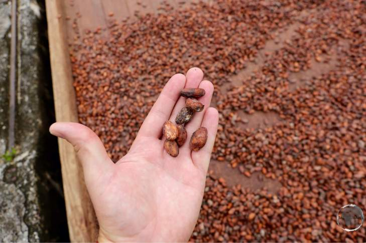 Cocoa beans drying at Belmont estate.