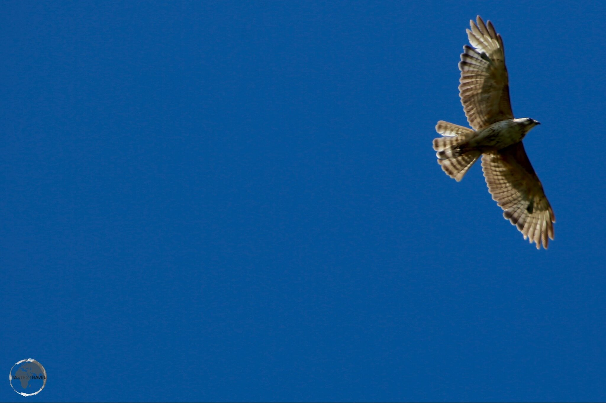 Broad-winged hawk on St. Vincent.