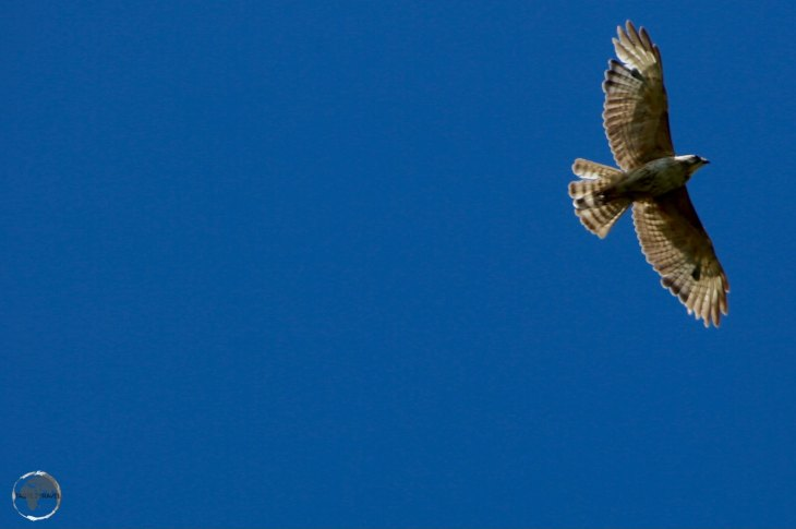 A Broad-winged hawk, soaring above the east coast of St. Vincent.