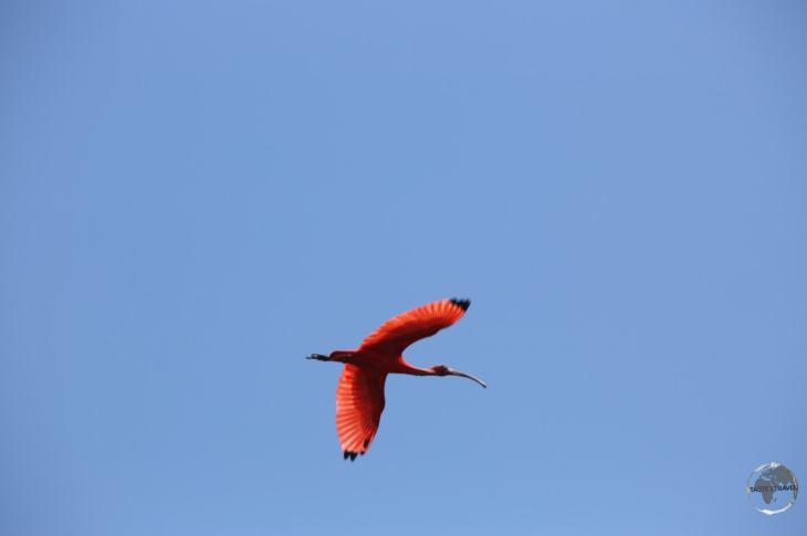 An adult Scarlet Ibis at Bigi Pan Nature Reserve.