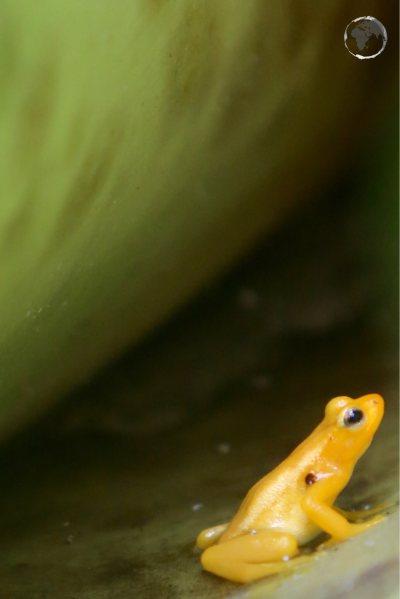 A Golden poison frog inside a Giant-tank Bromeliads at Kaieteur falls.