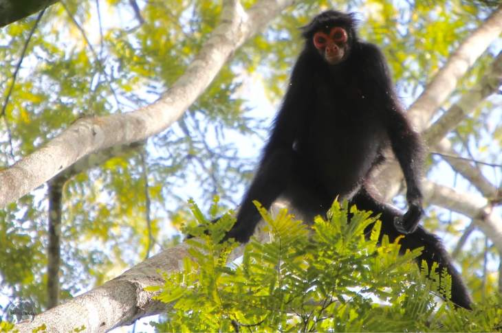 A curious Spider Monkey nearby the Atta Lodge in the heart of the Iwokrama Forest.