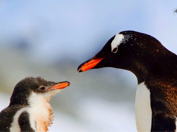 Antarctica Travel Guide: Adelie Penguin