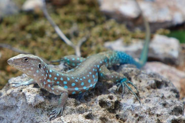 Aruba Travel Guide: Indigenous Aruban whip-tail lizard