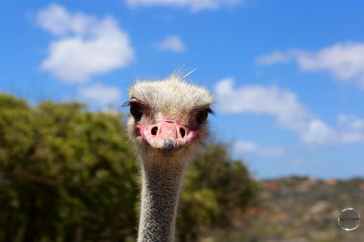 Aruba Travel Guide: A curious ostrich at the Aruba Ostrich farm.