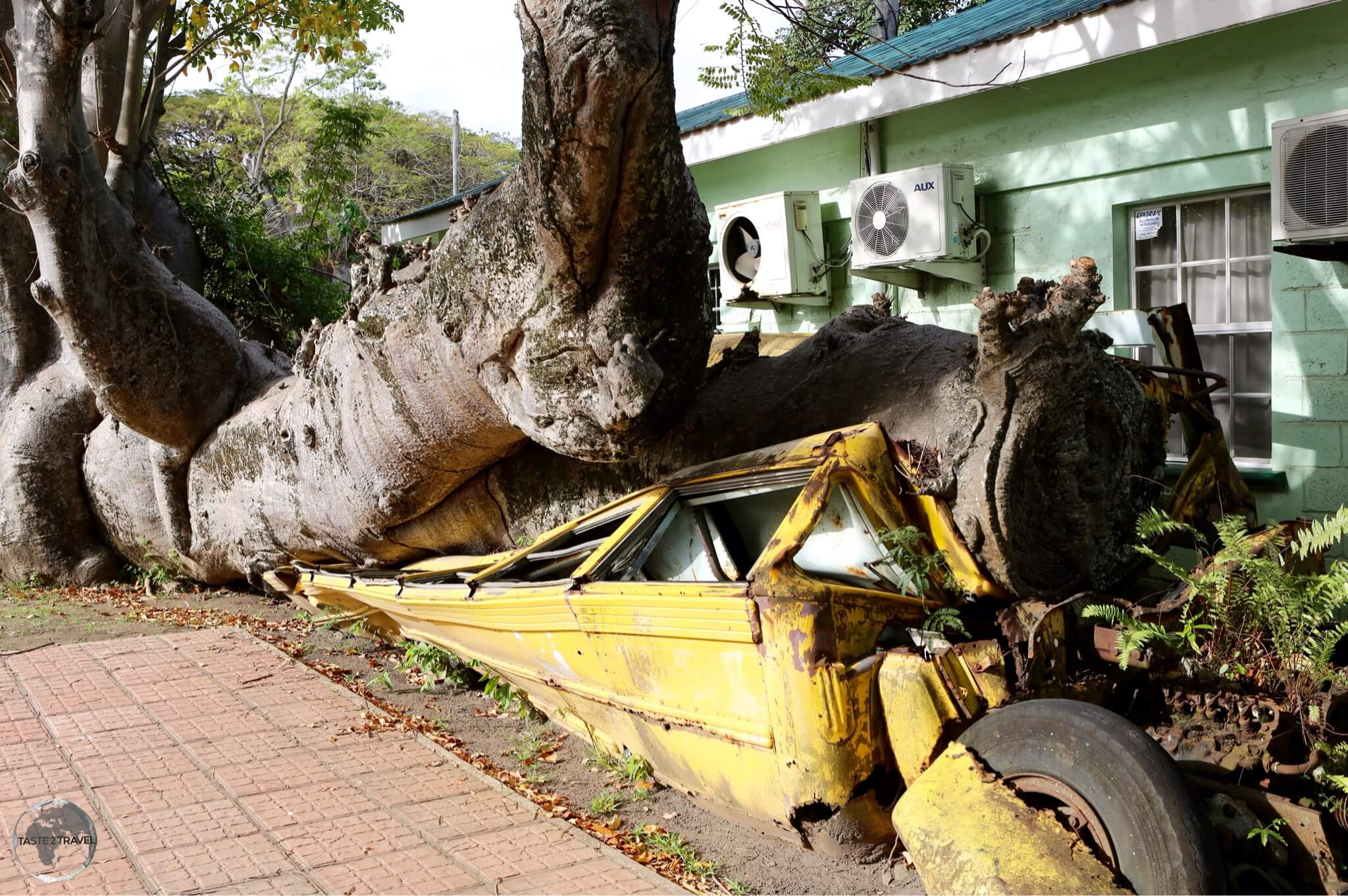 An unusual site in the Botanical gardens – an empty school bus crushed by an African baobab tree during hurricane David in 1979.