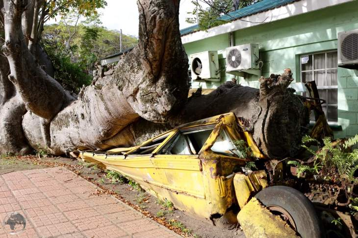 An unusual site in the Botanical gardens - a school bus crushed by an African baobab tree during hurricane David in 1979.
