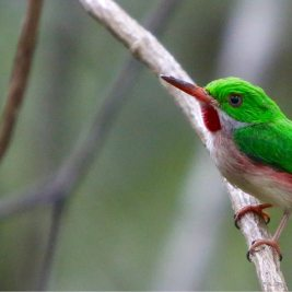 Broad-billed Tody, Punta Cana.