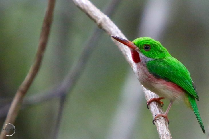 Broad-billed Tody in the 'Indigenous Eyes National Park', Punta Cana.