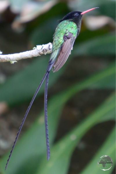 The national symbol of Jamaica - the long-tailed 'Doctor Bird' Hummingbird.