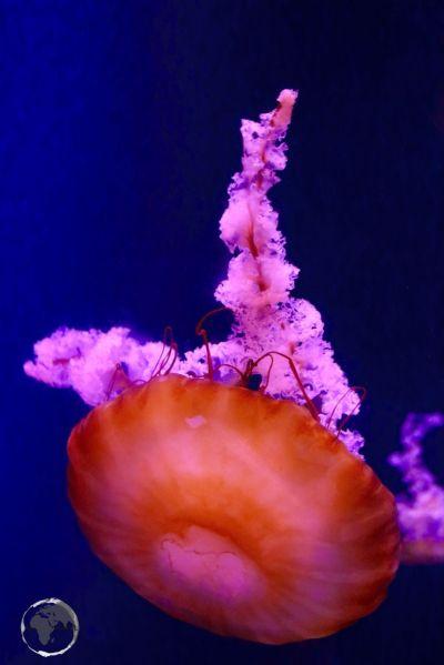 Jellyfish at Atlantis Resort.