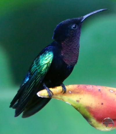 A Madeira Hummingbird on Martinique.