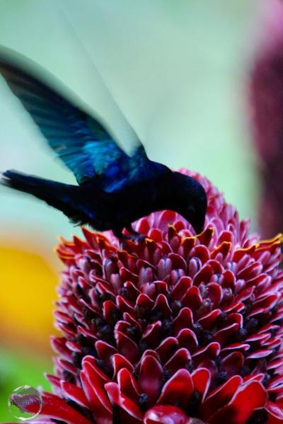 A male purple-throated Carib hummingbird at the India river.